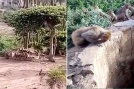 Обезьяны помогли леопарду избежать смерти