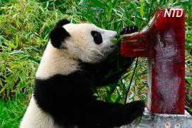 Панды-близнецы в Берлинском зоопарке отметили первый день рождения