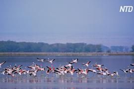 Тысячи фламинго спустя годы вернулись на озеро Накуру в Кении