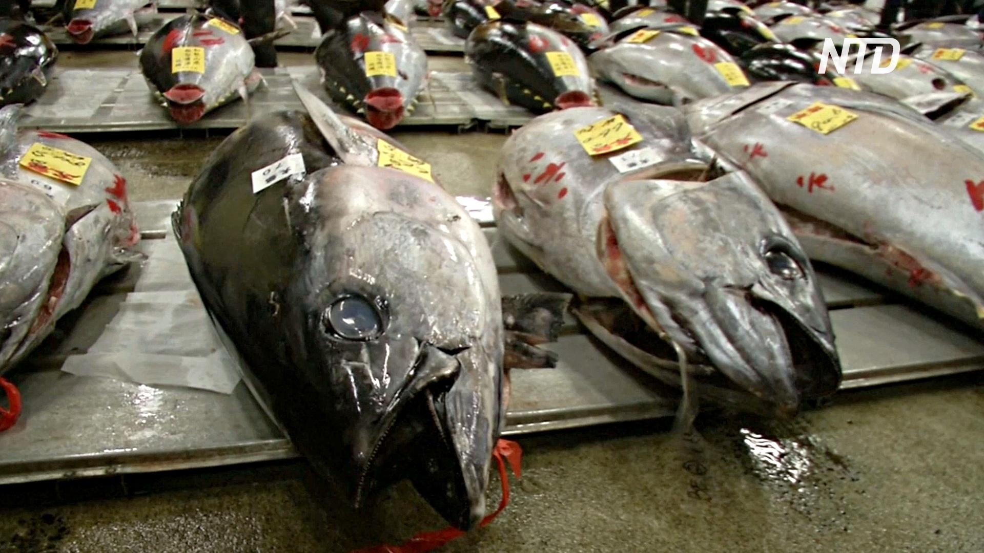 Пандемия больно ударила по индустрии голубого тунца в Японии