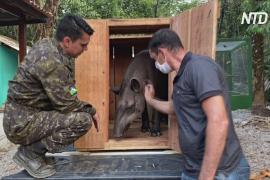 Бразильские ветеринары спасают пострадавших зверей из лесов Амазонии