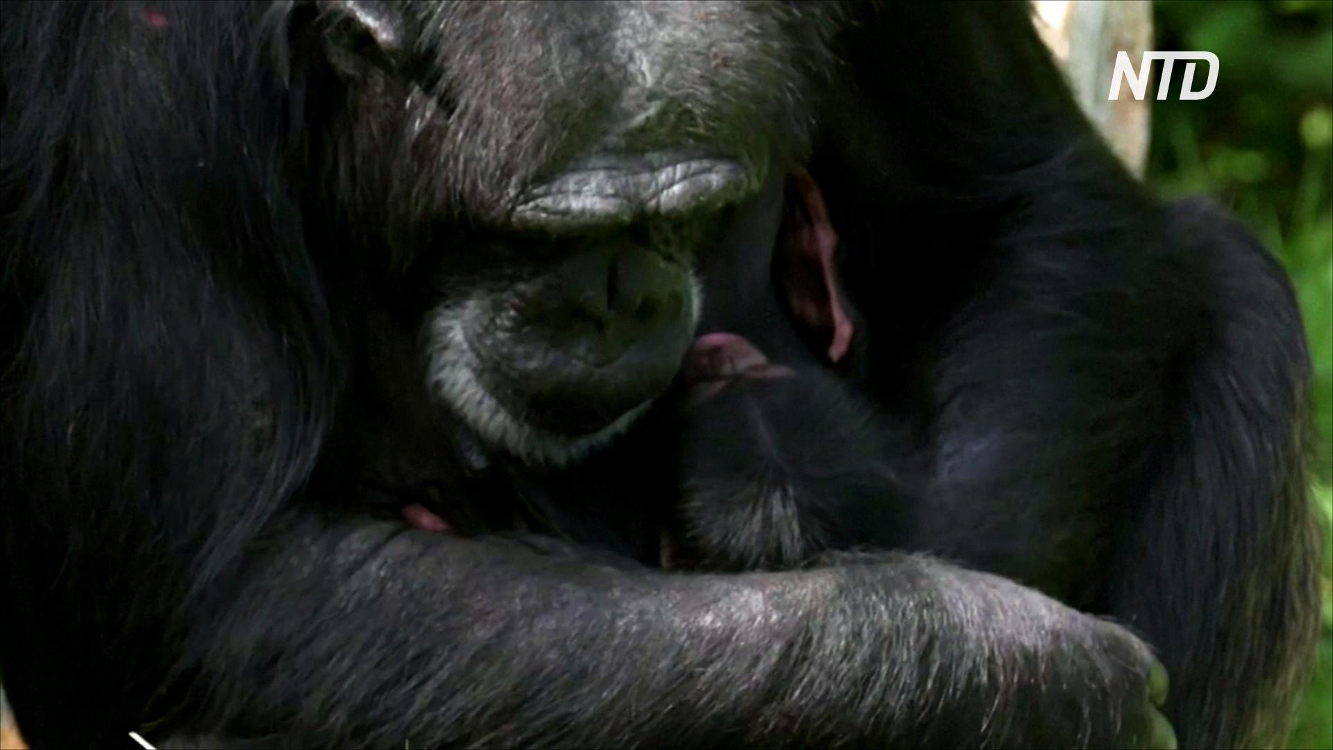 В зоопарке Великобритании родился детёныш редкого западного шимпанзе
