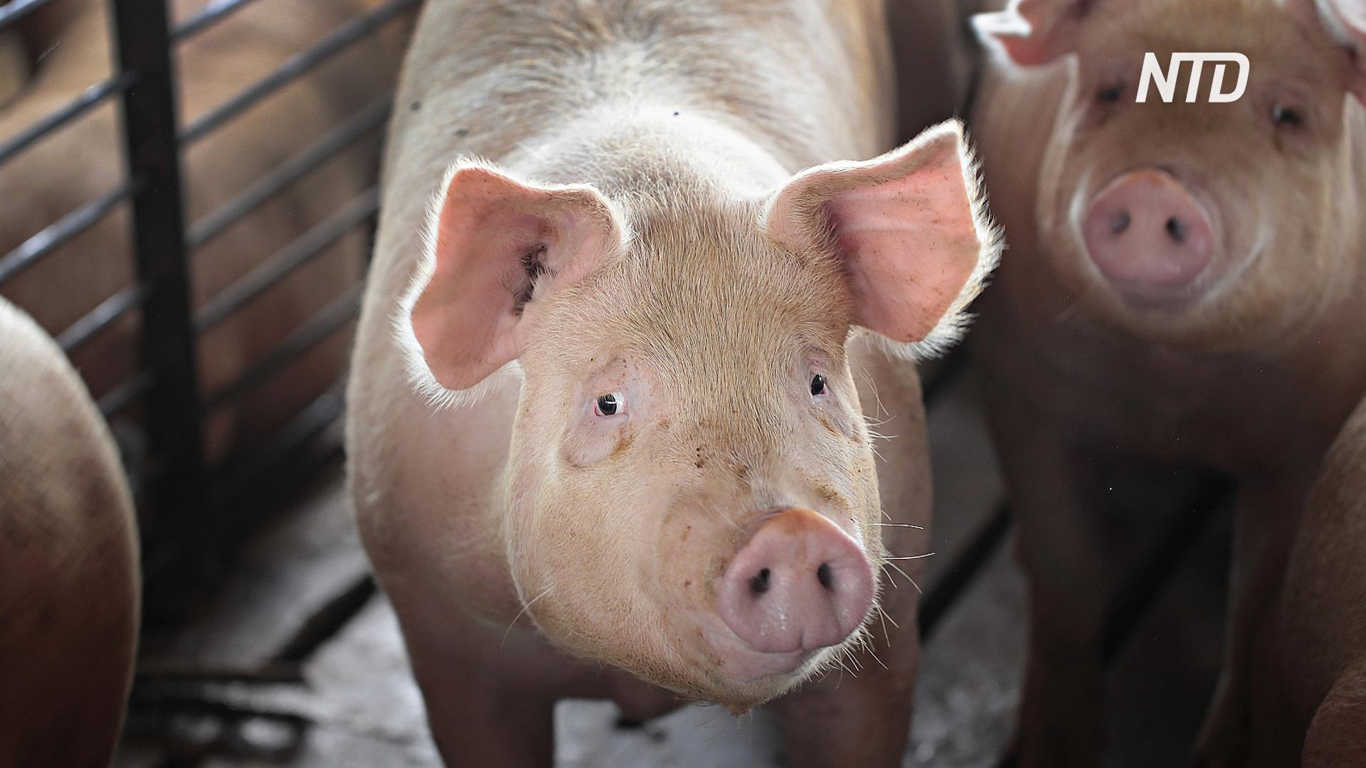 Германия выявила первый случай африканской чумы свиней