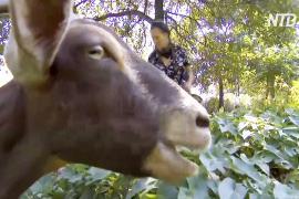 На расчистку нью-йоркского парка от сорняков пригласили… коз