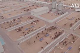 Что происходит внутри самой крупной в мире клиники для верблюдов