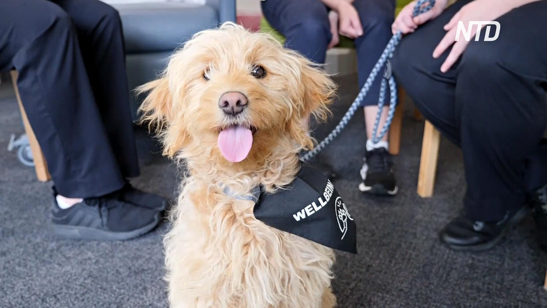 Собака-терапевт помогает врачам снять напряжение в больнице Австралии