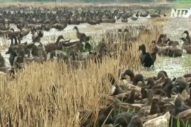 Десятки тысяч уток очищают рисовые поля в Таиланде
