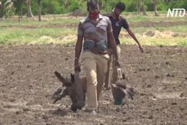 На юге Индии нашли десятки мёртвых павлинов