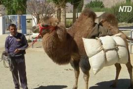 Верблюды помогут индийским военным патрулировать границу с Китаем
