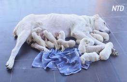 Мама-рекордсмен: у грузинской овчарки родились сразу 17 щенков