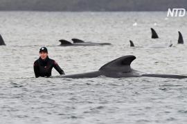70 спасённых и 380 умерших дельфинов: спасательная операция в Тасмании продолжается