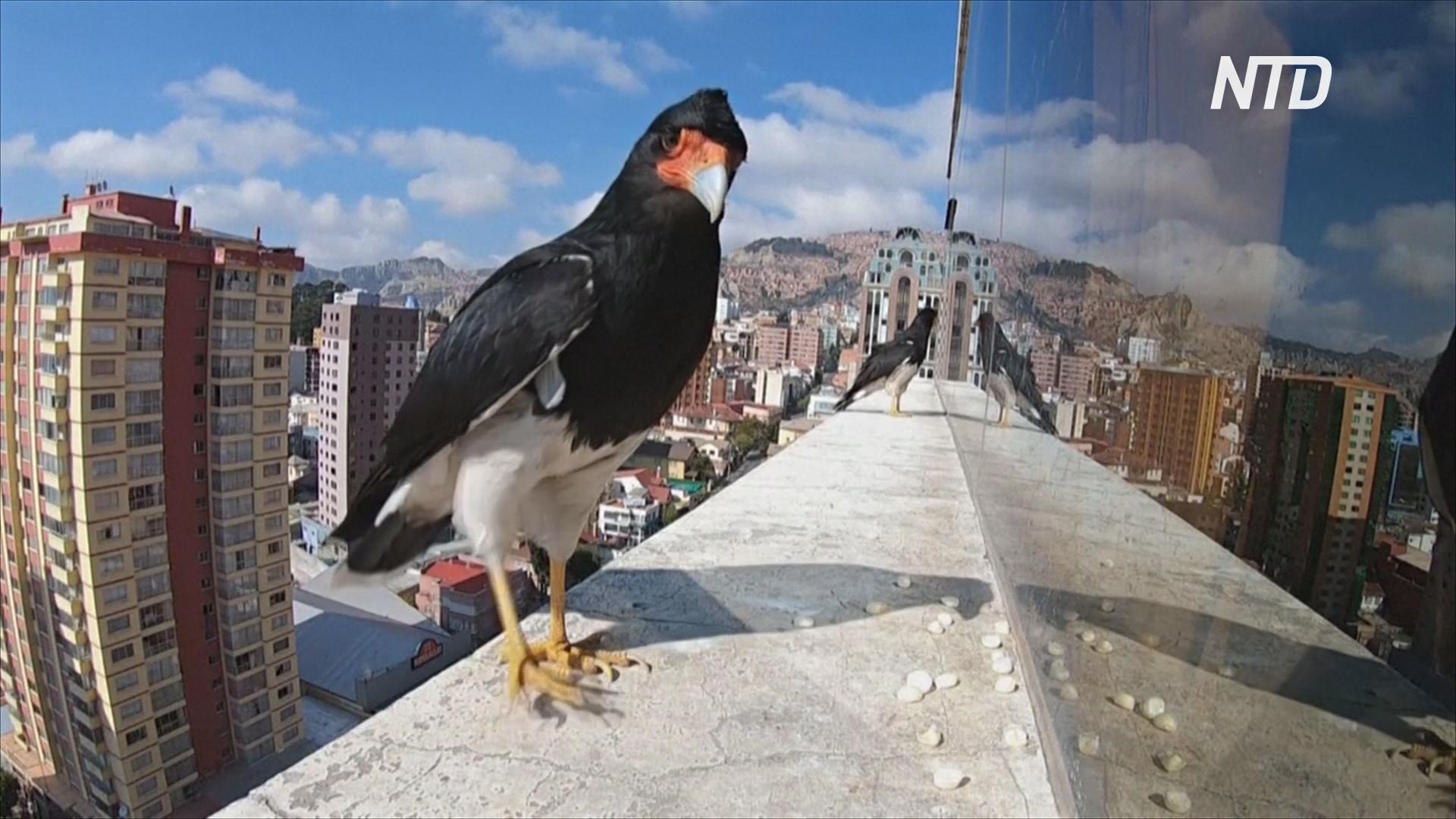 Хищные птицы помогли семье в Ла-Пасе пережить изоляцию