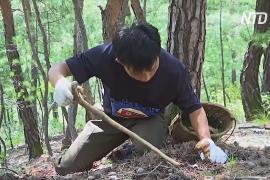 В Северной Корее в самом разгаре сезон сбора деликатеса соснового гриба