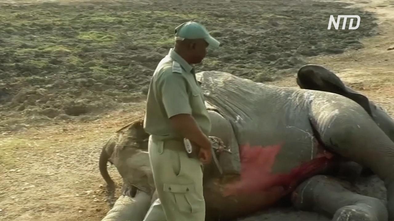 В Зимбабве назвали причину гибели десятков слонов