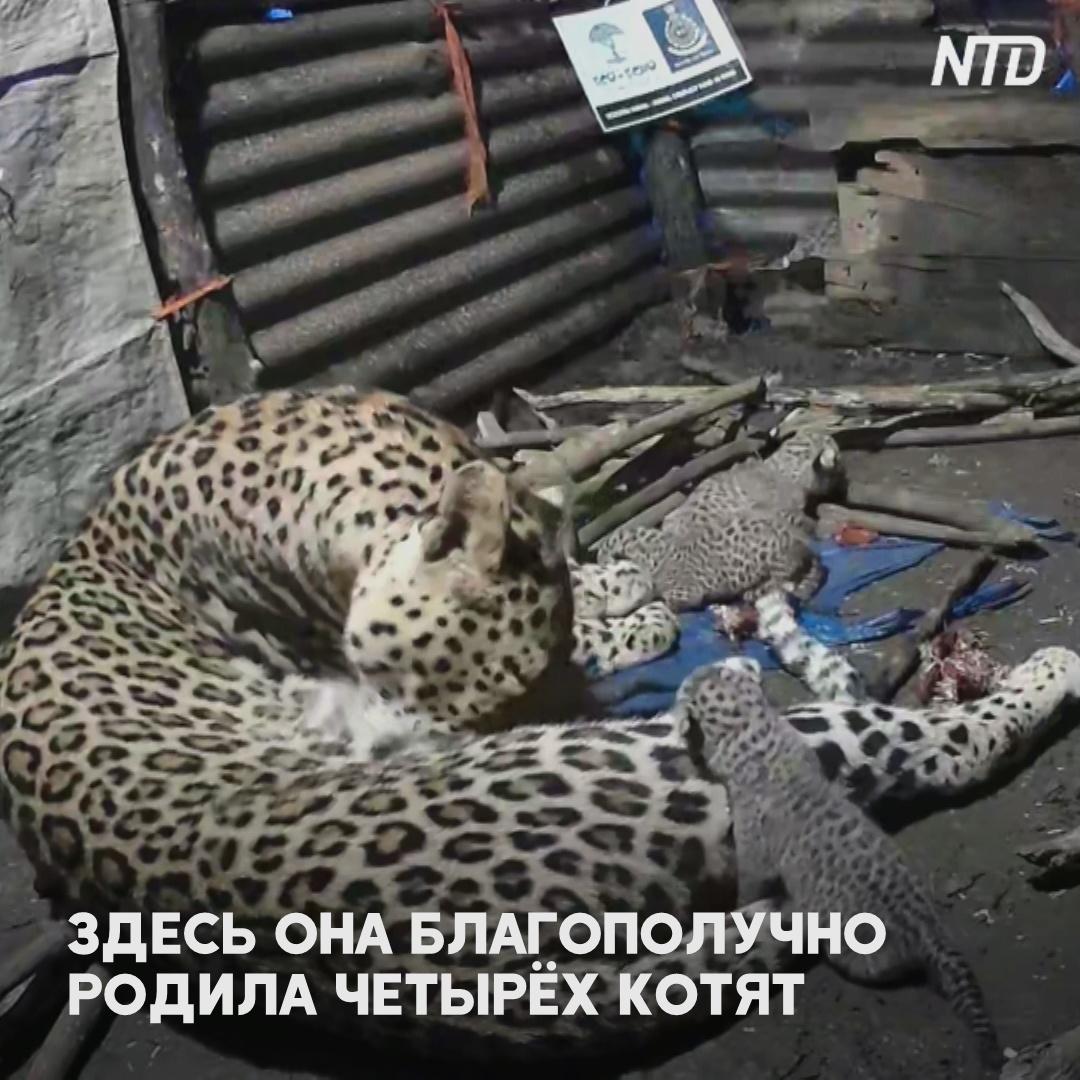 Самка леопарда родила детёнышей в сарае рядом с жилым домом