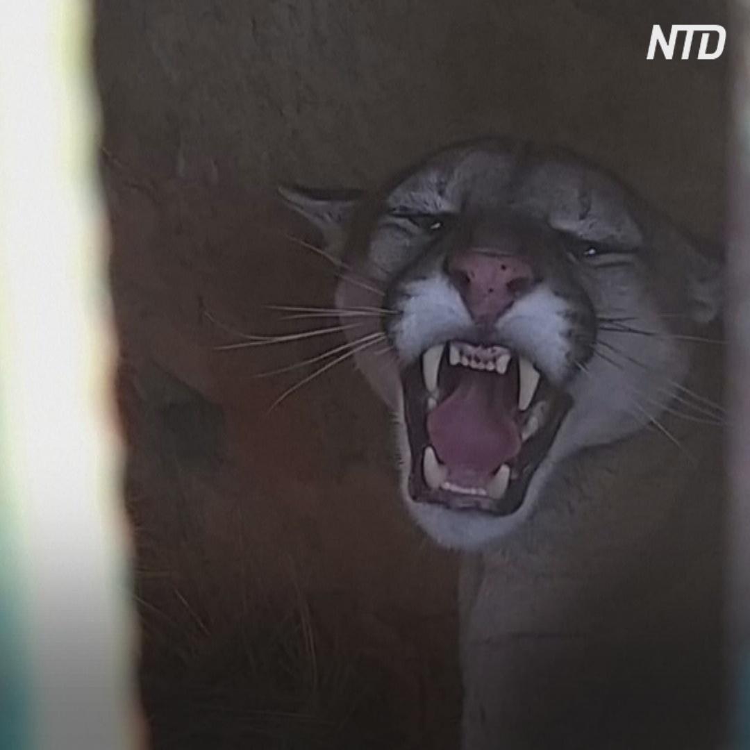 Пуму, которая забралась в дом боливийки, откормили и отпустили на волю