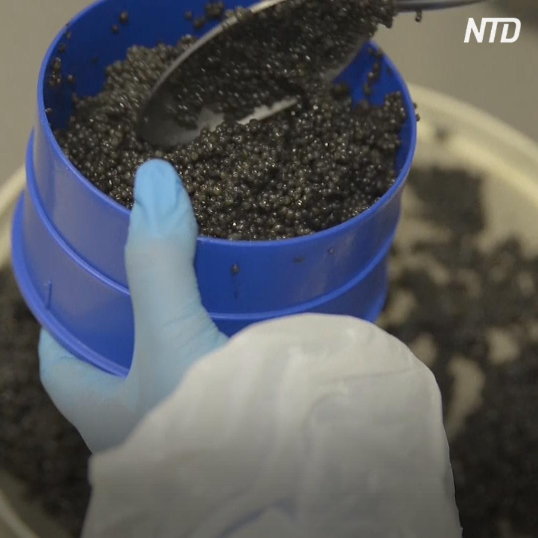 Как собрать чёрную икру, не забивая рыбу?