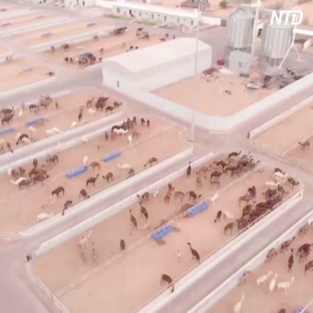 Крупнейшая в мире верблюжья клиника: где она находится и чем занимается