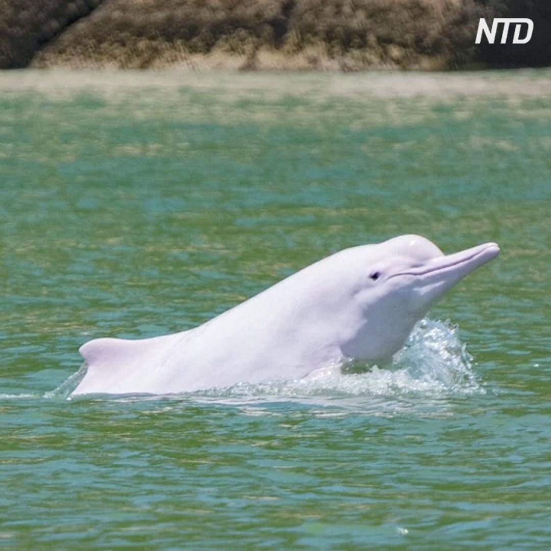 В воды близ Гонконга вернулись редкие китайские горбатые дельфины