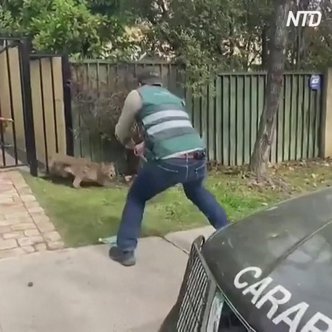 Что притягивает диких пум в столицу Чили?