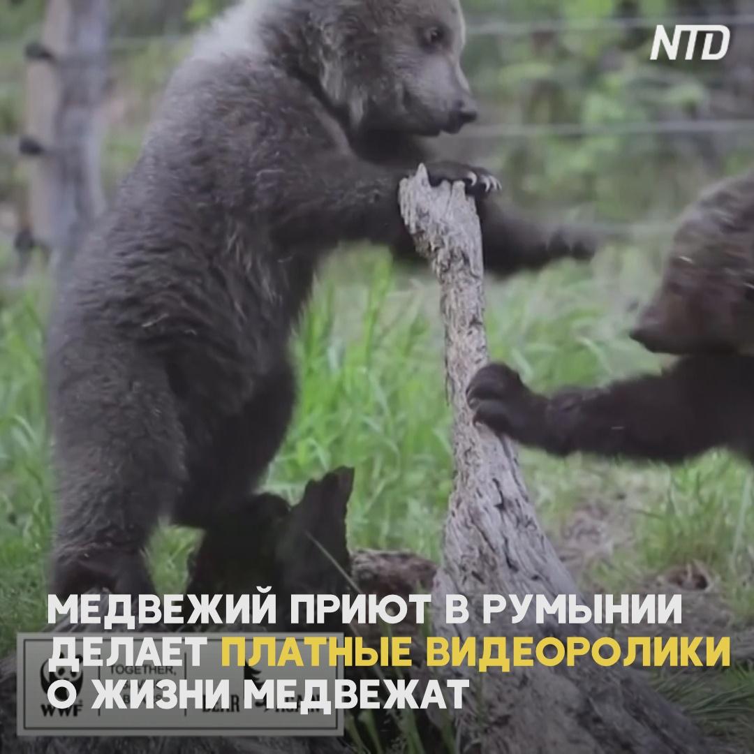 Медвежий приют собирает деньги, создавая платные сюжеты о жизни медвежат