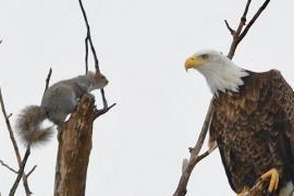 Чем закончилось противостояние белки и орлана. Фото
