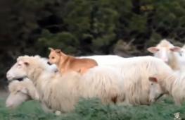 Как собака охраняла стадо овец. Весёлое видео
