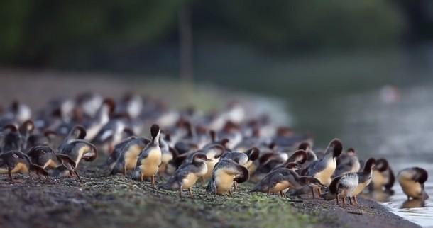 Фотограф насчитал 76 утят, плывущих за одной уткой