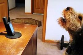 Как собака разговаривала с хозяйкой по телефону