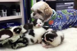 Ши-тцу из Австралии воспитал более 80 котят