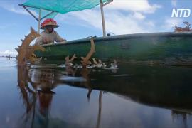 В отсутствие туристов балийцы возвращаются к выращиванию водорослей
