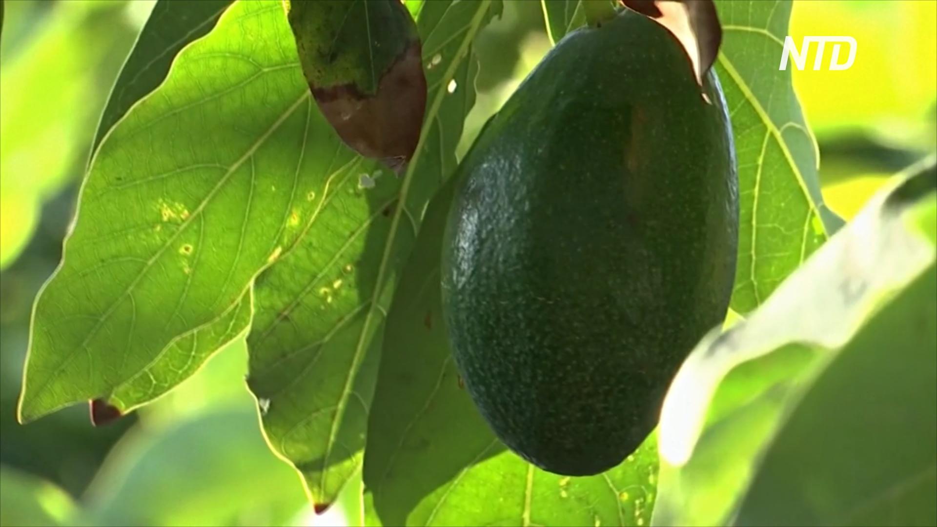 Плантации авокадо «выпили» почти всю воду на юге Португалии