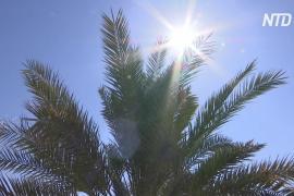 Учёные воссоздали финиковую пальму библейских времён