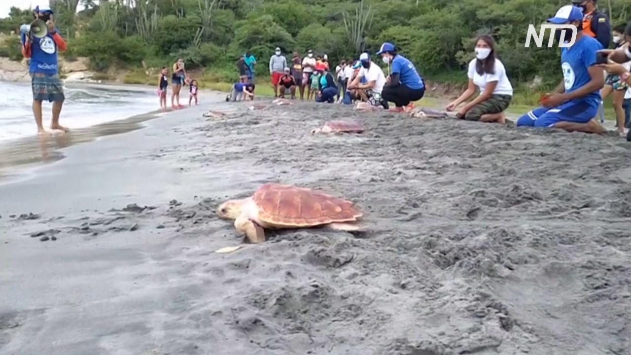 В Колумбии вырастили и выпустили в море 80 краснокнижных черепах