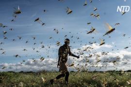В Эфиопии – худшее нашествие саранчи за 25 лет