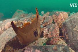 У берегов Шотландии нашли более 100 яиц вымирающих гладких скатов