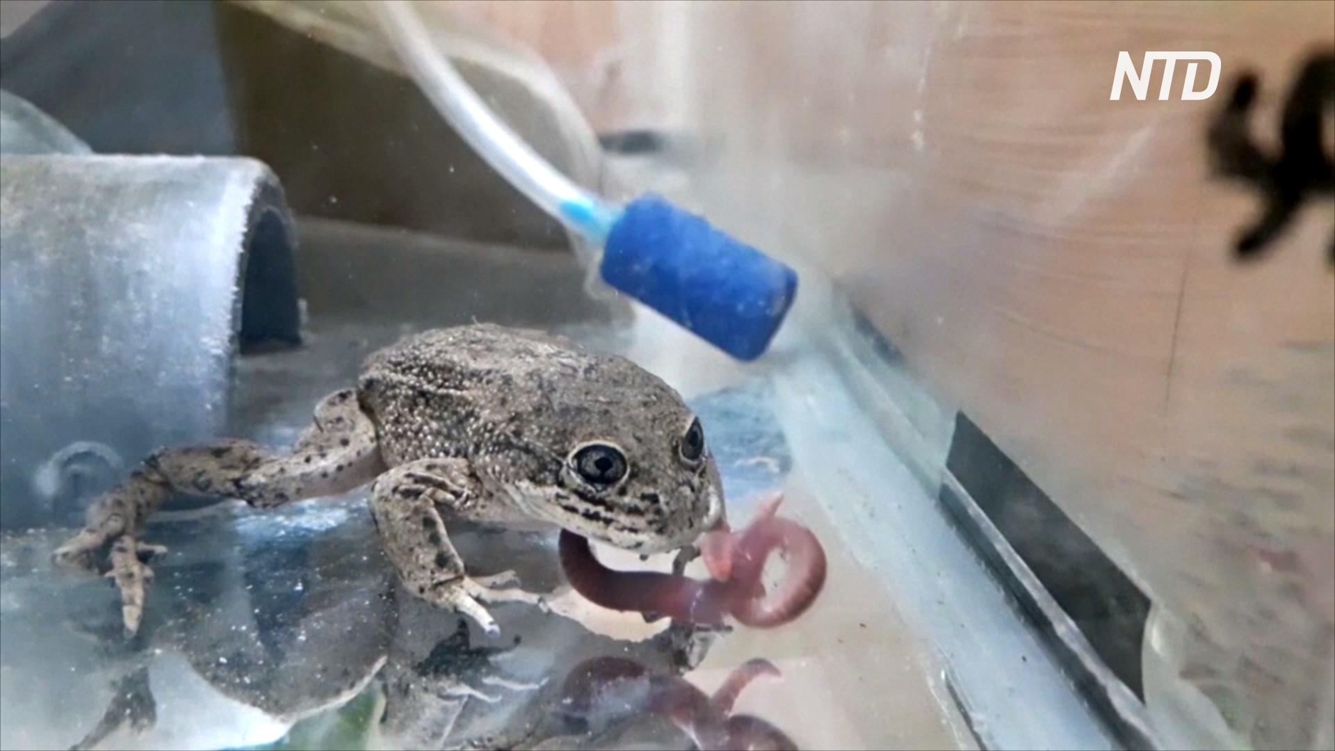 В Чили у исчезающих лягушек лоа появилось потомство