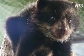 Зоопарк в Перу приютил осиротевшего очкового медвежонка