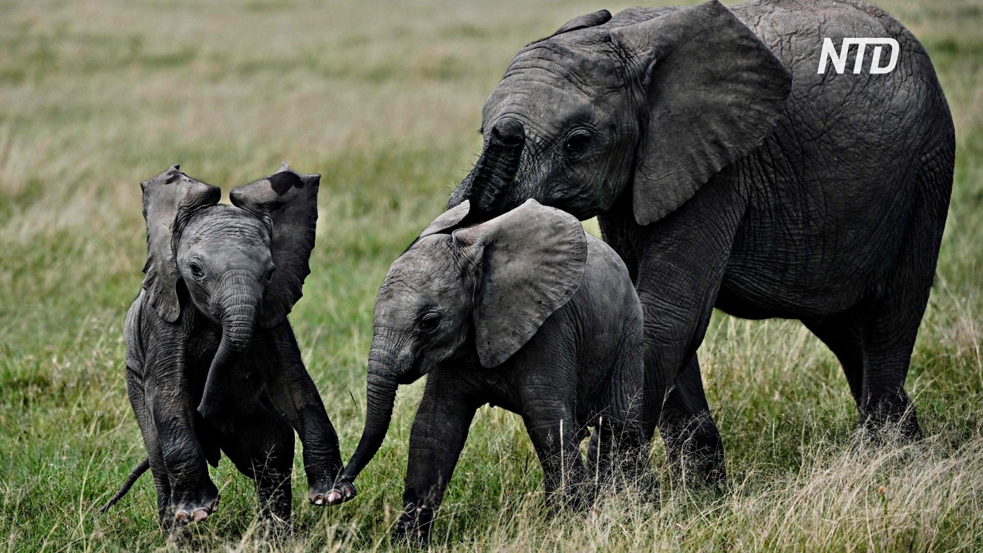 В кенийском заповеднике Амбосели родилось рекордное число слонят за год