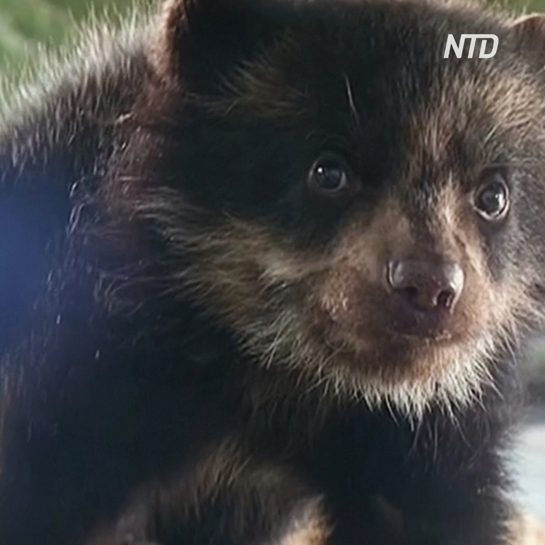 Осиротевшего очкового медвежонка приютили в зоопарке Перу