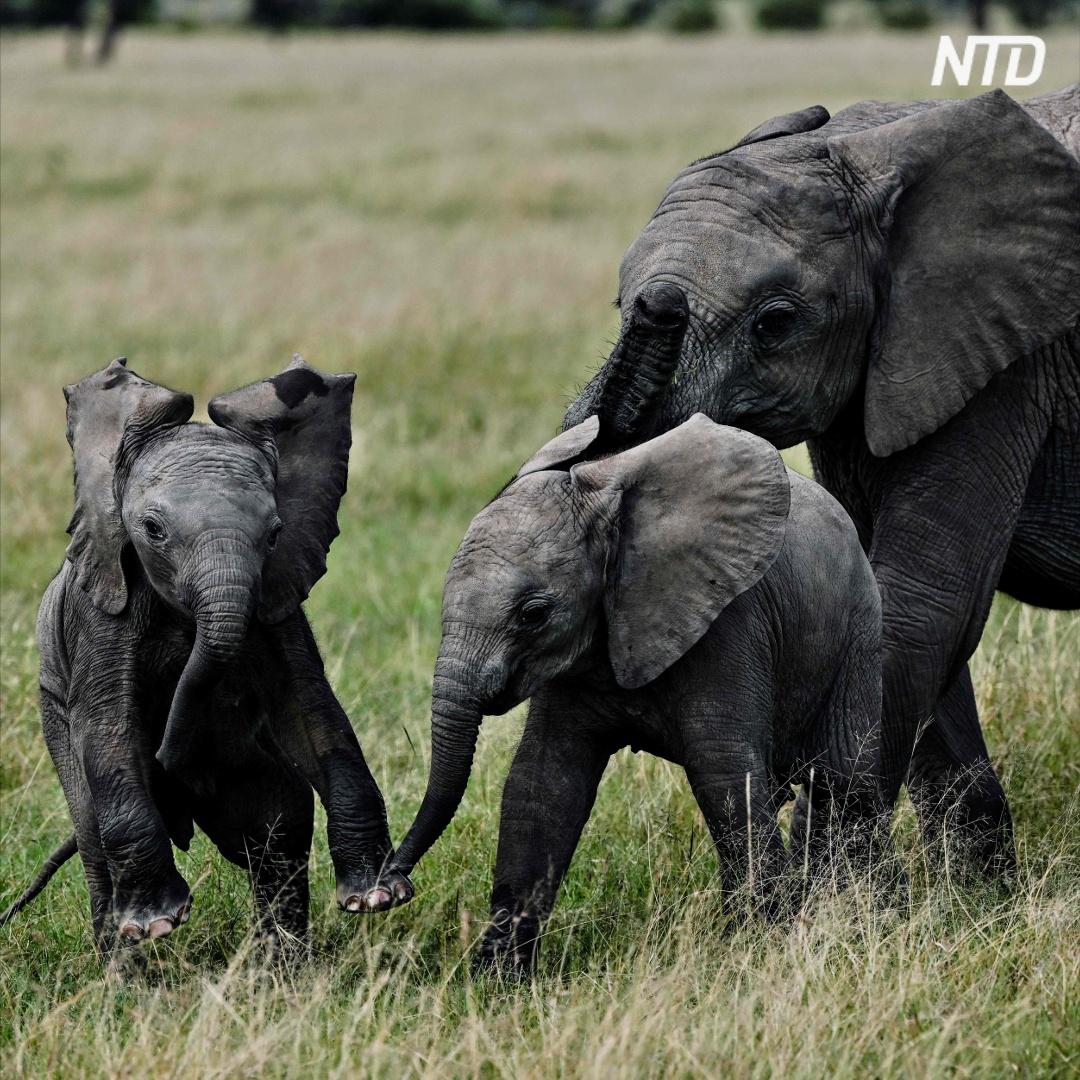 Рекордное число слонят родилось в кенийском заповеднике