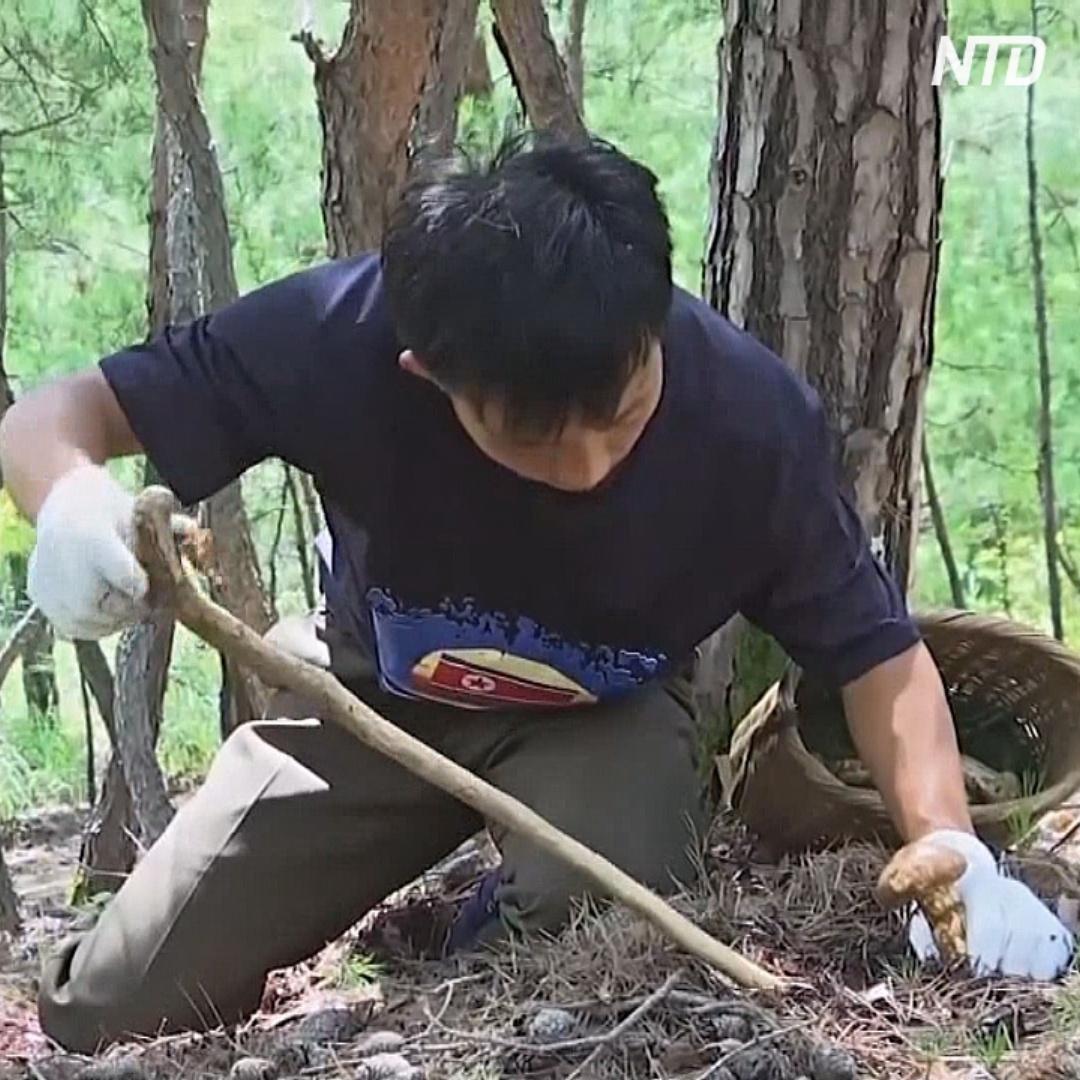 Как северокорейцы собирают грибы мацутакэ – местное золото