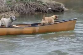 Как лабрадор спас лодку с двумя собаками