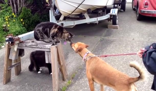 Как кошка защищала от собаки подругу-кошку