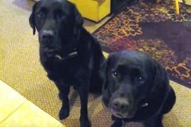 Как щенок ответил на вопрос хозяйки: «Кто украл печенье?» Весёлое видео