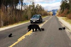 Как полицейский помог медведице и медвежатам