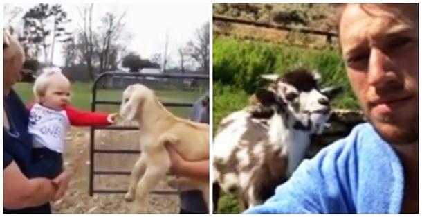 Почему не стоит спорить с овцами и козами. Два весёлых видео
