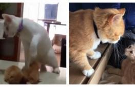 Как воспитывают котят их родители. Весёлое видео