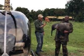 Слонёнка пришлось перевозить на вертолёте