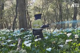 Ядовитые цветы захватывают территории западной Австралии